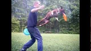 Staffie Crazy Dog Disc / Staffie Play Frisbee Jeu