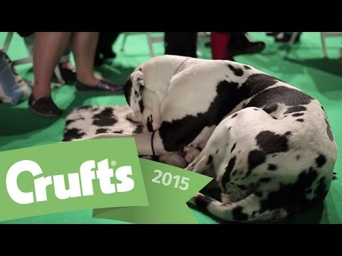 Follow Millie the Great Dane's Crufts 2015 Journey! | Crufts 2015