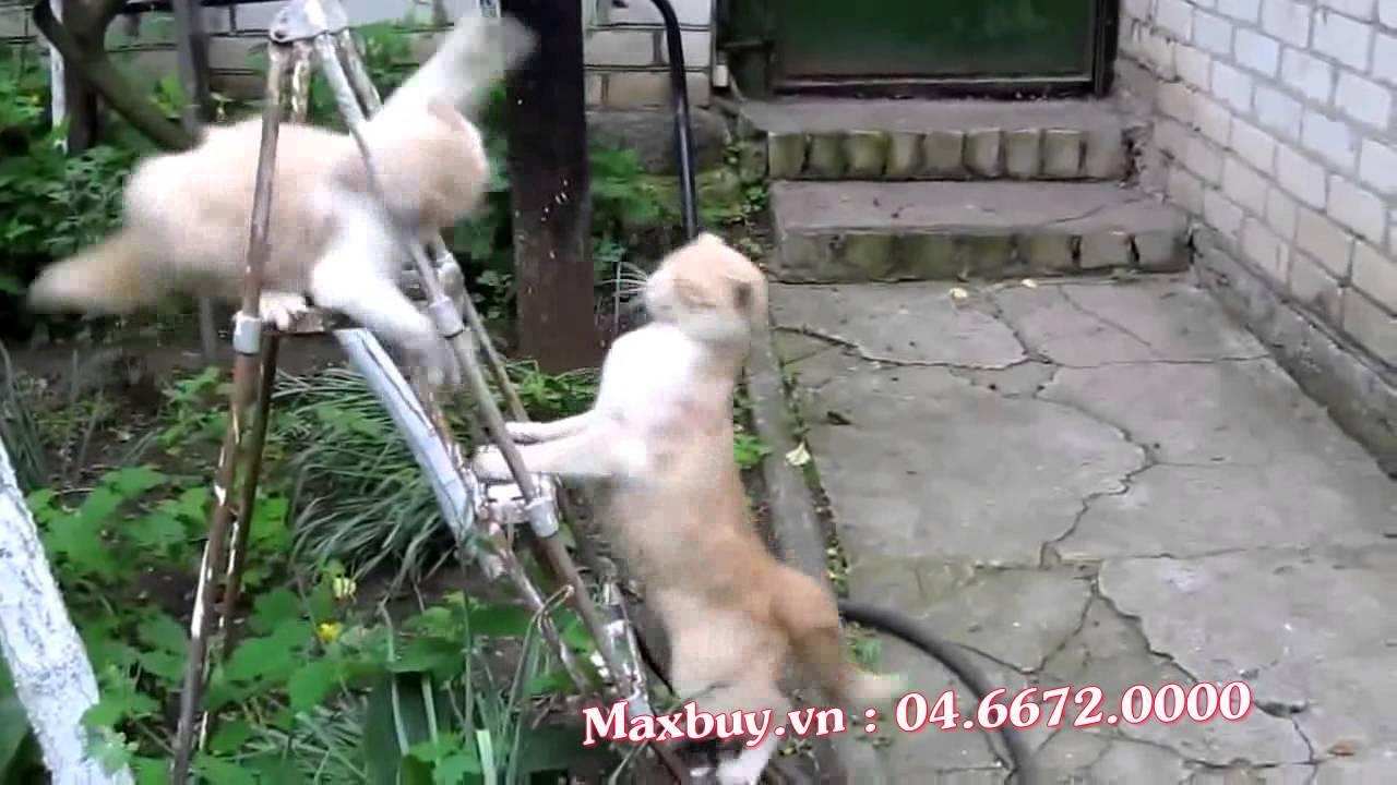 [Cười lăn lộn]| 2 chú mèo đánh nhau trên thang