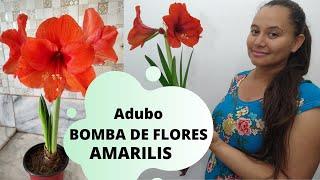 Amarílis Adubo Bomba De Floração