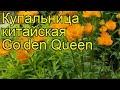 Купальница китайская Golden Queen. Краткий обзор, описание характеристик, где купить саженцы