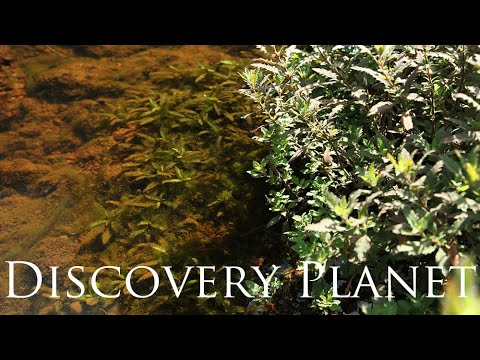【4K】The world's first introduction nature habitat of Hygrophila pinnatifida and Fish 2/2
