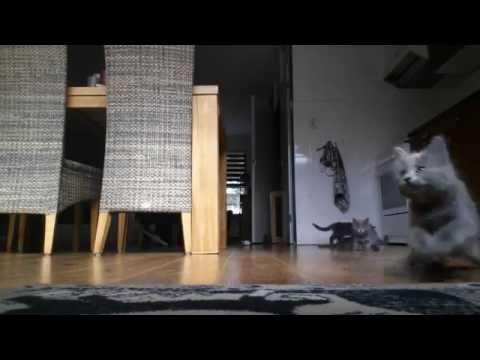 Playful Nebelung kittens - 9 weeks old (HD)