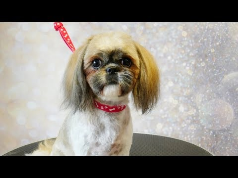 Grooming Guide Grooming Shih Tzu Face With Long Ears 29 Youtube