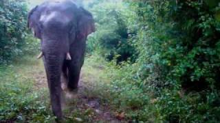 Wildlife Thailand - asian elephant walks into cameras