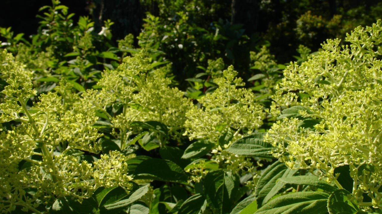 How To Prune Hydrangea Paniculata Trees