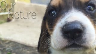 Best Beagle Puppies Compilation 2018 - TOO CUTE!