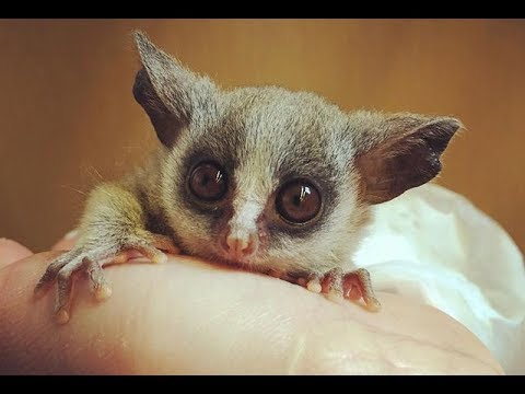 Senegal Galago(Senegal bushbaby) - Cute Tiny Monkey - YouTube
