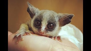 Senegal Galago(Senegal bushbaby) - Cute Tiny Monkey