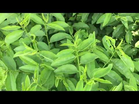 Sauropus androgynus, also known as katuk or sweet leaf, is a shrub grown in some tropical regions