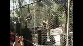 Как поют обезьяны?