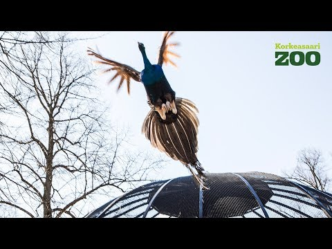 Flight of the Peacocks started summer at Helsinki Zoo (Pavo cristatus)