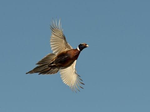 South Dakota Pheasant Hunting Friendships