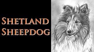 Video Drawing Series 01 - Shetland Sheepdog