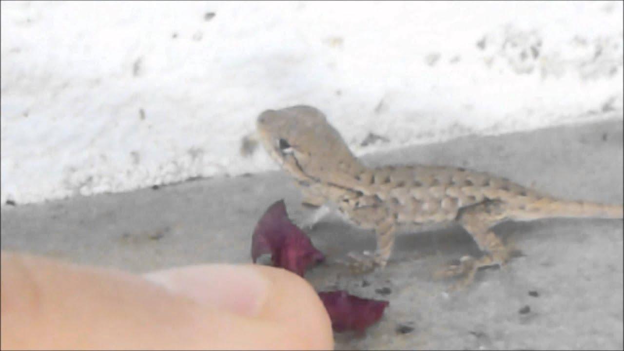 Baby Western Fence Lizard Youtube