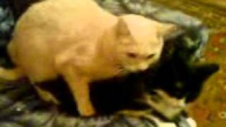 Кошачий секс .3GP