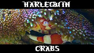 Harlequin Crabs