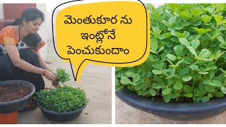మెంతుకూరను ఇంటిలో ఇలా సులువుగా పెంచుకోవచ్చు .How to grow  fenugreek (Methi)  easily at home??