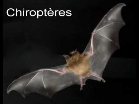 hqdefault - Chauves-souris : mégachiroptères