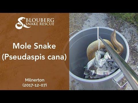 Mole Snake rescued near Milnerton (20171207)