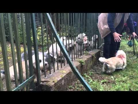 Dandie Dinmonts in the Haining kennels