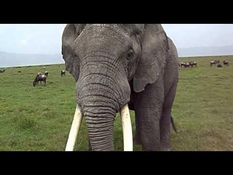 Elephant in Ngorongoro Conservation Area, Tanzania