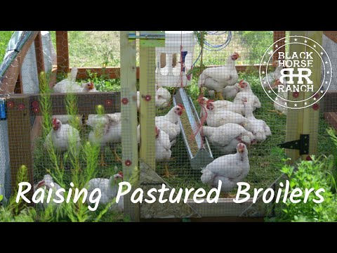 Raising All Natural Pastured Chicken