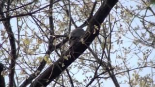 Gambar cover 野鳥 ツミのさえずり Japanese sparrowhawk
