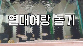 오셀라 골드 (패각종 ) 랑 놀아주기(????????)…