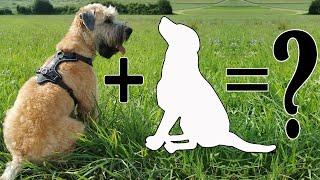 Wheaten Terrier Mix Breeds: 9 Unreal Cross Breeds