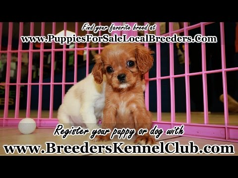CAVALIER KING CHARLES SPANIEL PUPPIES FOR SALE GA LOCAL BREEDERS