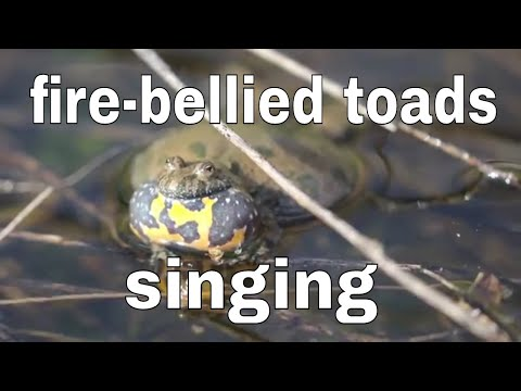 The fire-bellied toads (Bombina) singing