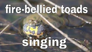 The Fire Bellied Toads Bombina Bombina Singing Youtube