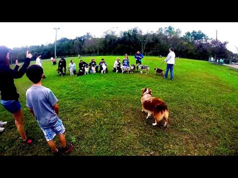 Australian Shepherd Meet Up - Jacksonville