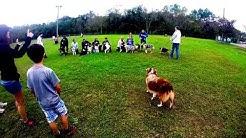 Australian Shepherd Meet Up - Jacksonville