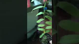Phi điệp,5 cánh trắng họng hồng 200k cao trên 20cm
