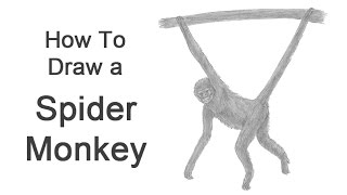 How to Draw a Spider Monkey
