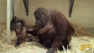Baby Orangutan And Surrogate Mom Maggie