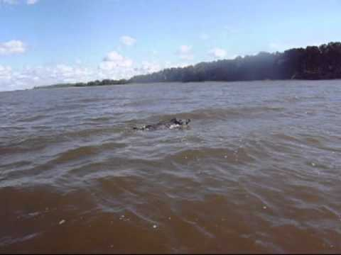 Wild boar swimming in Võrtsjärv, Estonia