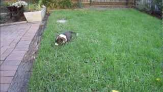 Cute Puppy Fos Jumping Through The Grass (cardigan Welsh Corgi; 8 Weeks Old, 2nd Day In New Home)