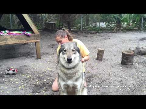 Wolf Shedding