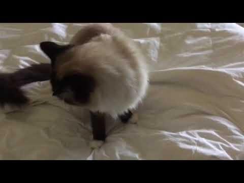 Ragdoll Cat Peeing - Pet Remedy - Ragdoll Cat Murphy, Caymus and Charlie