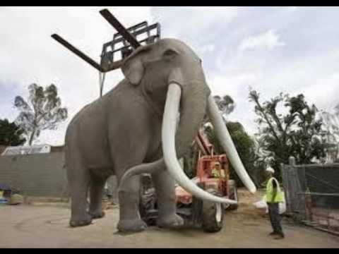 Biggest elephant ivory - YouTube