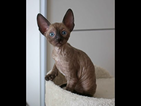 Cornish Rex Hero of'MH Caruso has beautiful blue eyes, take a look!!!