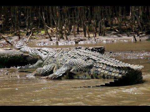 The giant crocodile 6 m  Animal Planet 2015  Wildlife Documentary