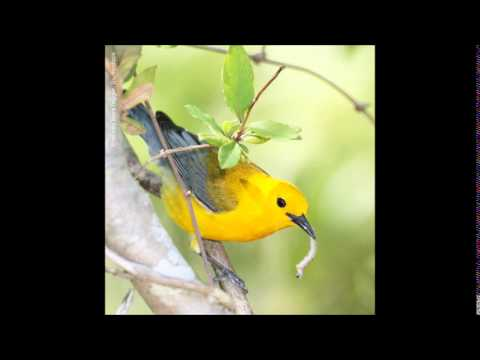 Prothonotary Warbler Song