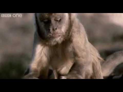 Hitman Monkey Still Finds No Joy In His Job Youtube