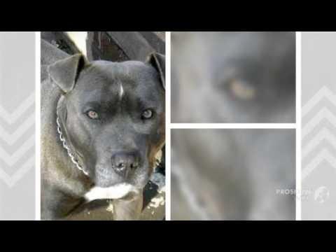 Irish Staffordshire Bull Terrier Dog breed