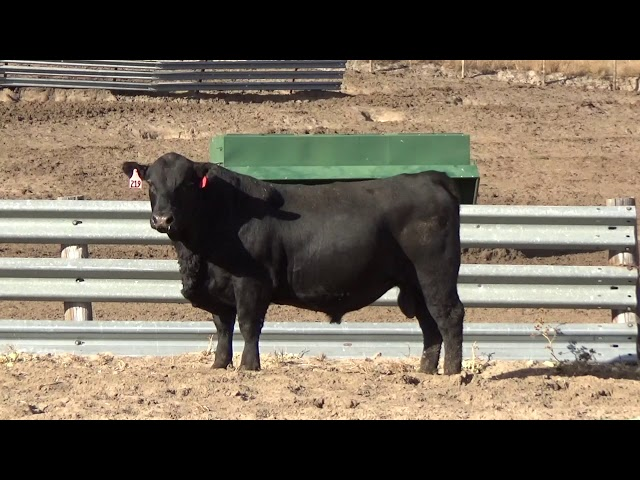 Connealy Angus Lot 219