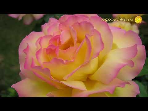 От каких сортов роз приходится отказываться?